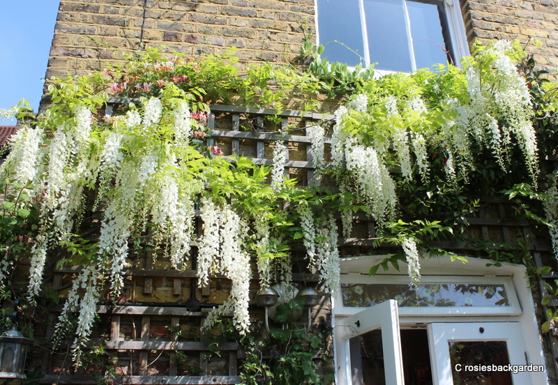 How to buy, grow and prune Wisteria …